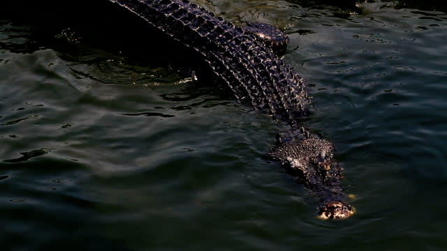crocodile in the water - crocodile stock videos and b-roll footage