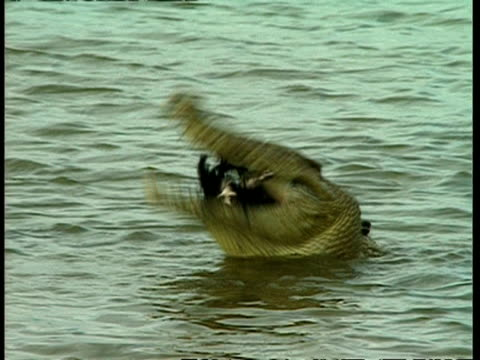 MS Crocodile in water, eating chicken
