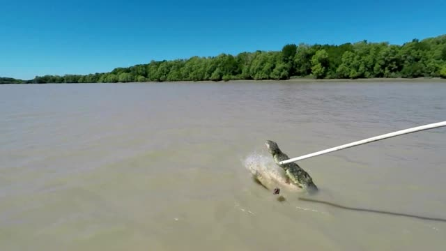 crocodile jumps out of river, australia - slow motion - adelaide river stock videos & royalty-free footage