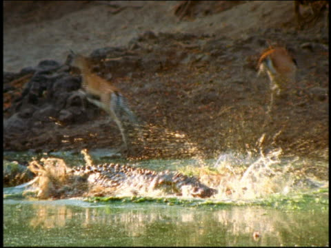 Crocodile leaps + grabs Thomson's gazelle in jaws / other gazelles run away / Serengeti, Africa
