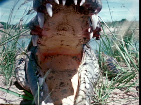 a crocodile lies in the grass with its giant mouth open. - zoologia video stock e b–roll