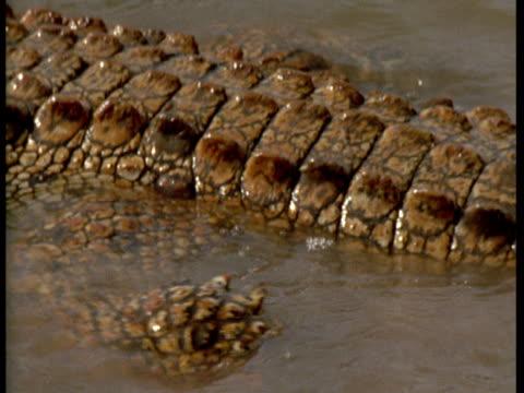 """vidéos et rushes de a crocodile lunges through the water. - """"bbc natural history"""""""