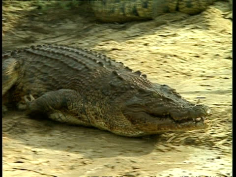 ms crocodile lunging onto shore, grabbing and eating chicken - crocodile stock videos & royalty-free footage