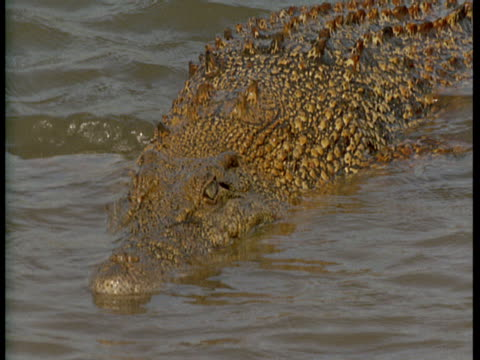 stockvideo's en b-roll-footage met a crocodile lurks in shallow water. - lichaamsdeel van dieren