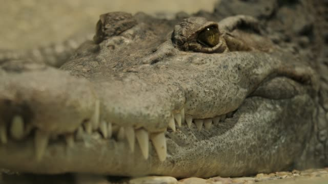 crocodile lying and closing eyes on brown dirt floor - alligator stock videos & royalty-free footage