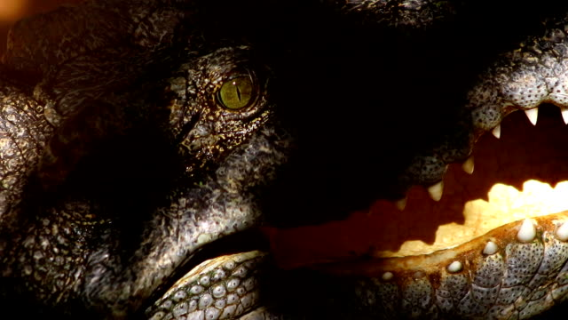 Crocodile mouth open close-up