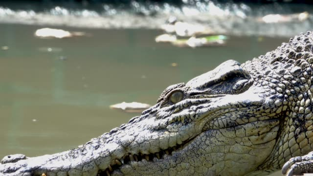 krokodil, umzug in den teich. - echte krokodile stock-videos und b-roll-filmmaterial