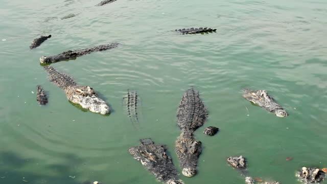 Crocodile multiple sleep in water
