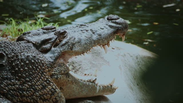 crocodile opening a mouth. 4k resolution. - animal mouth stock videos & royalty-free footage