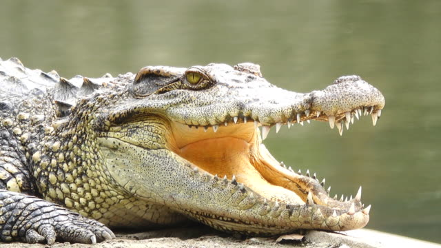crocodile opening a mouth - mouth open stock videos and b-roll footage
