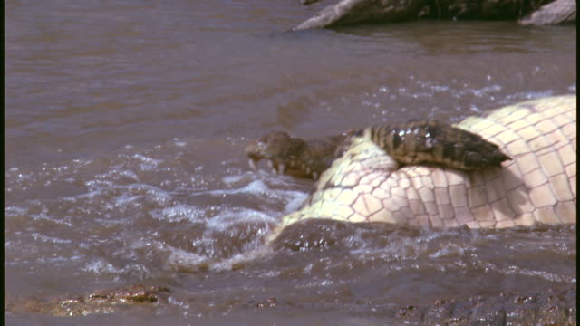 a crocodile performs a death roll while gripping a carcass with its jaw. - クロコダイル点の映像素材/bロール