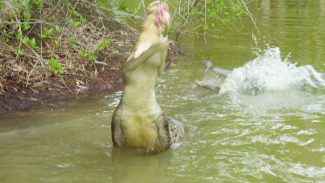a crocodile reaching out for the bait - alligator stock videos & royalty-free footage