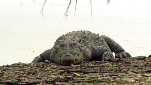 crocodile resting at water edge, looking towards the camera - wide shot - bird of prey stock videos & royalty-free footage