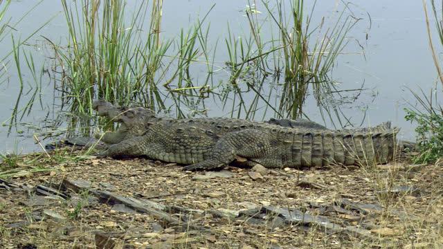 vídeos de stock e filmes b-roll de crocodile resting, gasping at the water edge - wide shot - water's edge