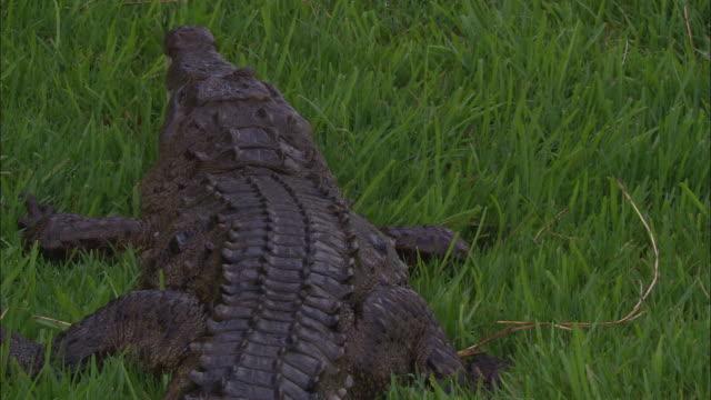 a crocodile rests on the grass. - クロコダイル点の映像素材/bロール