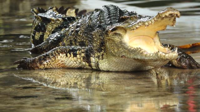 stockvideo's en b-roll-footage met krokodil toon. - ledematen lichaamsdeel