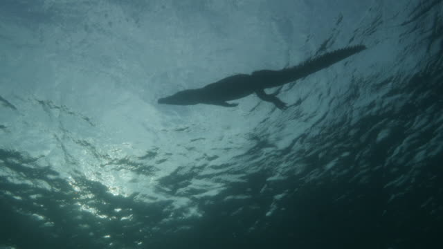 crocodile silhouetted against the surface water - crocodile stock videos & royalty-free footage