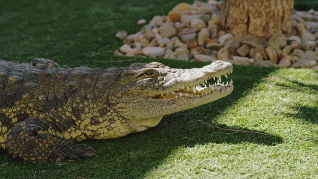 crocodile sits on grass with open mouth; baring sharp teeth. - クロコダイル点の映像素材/bロール