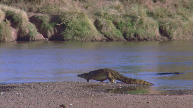 a crocodile slowly walks into a river, while another one floats by in serengeti national park. - クロコダイル点の映像素材/bロール