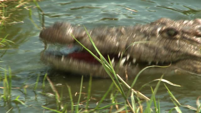 a crocodile snaps its jaws as it lies half-submerged in a river. available in hd. - zuschnappen stock-videos und b-roll-filmmaterial
