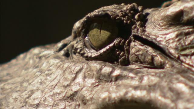 vídeos de stock e filmes b-roll de a crocodile stares without blinking. - crocodilo