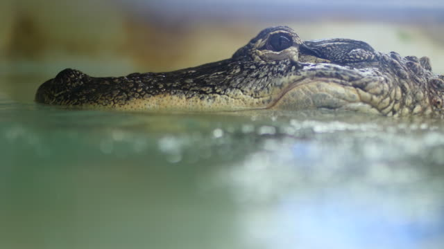 crocodile submerged in water - one animal stock videos & royalty-free footage