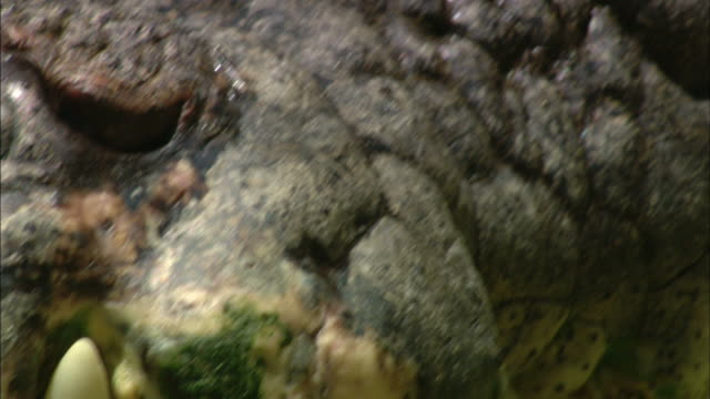 a crocodile suns itself. - animal teeth stock videos and b-roll footage