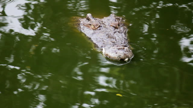 Crocodile swim in the water