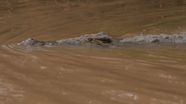 crocodile swimming in omo river / ethiopia, africa - aquatic organism stock videos & royalty-free footage