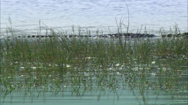 vídeos y material grabado en eventos de stock de crocodile swimming on the water body - medium shot - medium group of animals