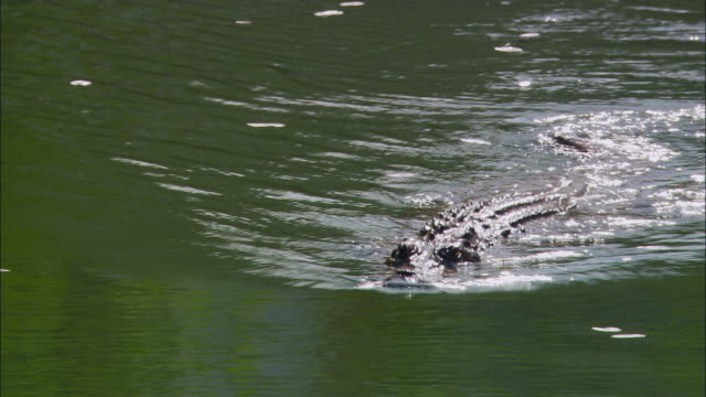 ms, pan, crocodile swimming through water, australia - aquatic organism stock videos & royalty-free footage