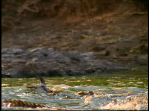 pan crocodile swimming with thomson's gazelle in mouth / serengeti, tanzania, africa - totschlag stock-videos und b-roll-filmmaterial