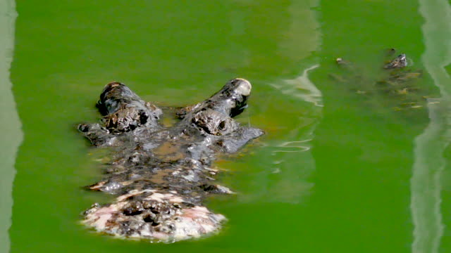 crocodile swims in the green marshy water - caiman stock videos & royalty-free footage