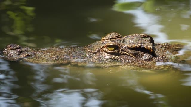 ワニは池で泳ぐ。 - カイマン点の映像素材/bロール