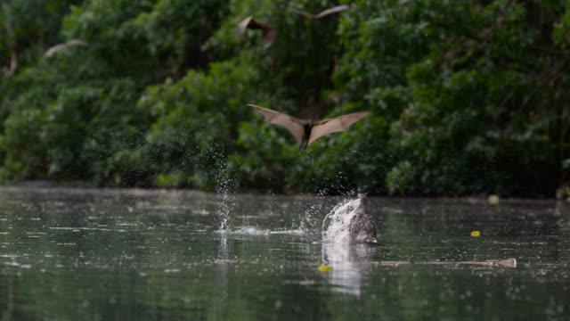"crocodile tries to grab bat, australia. - ""bbc natural history"" stock videos & royalty-free footage"
