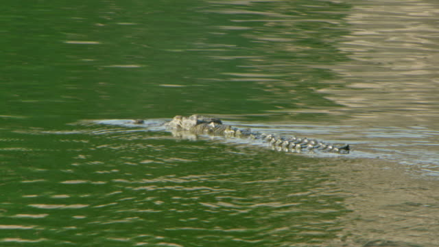 crocodile - wildlife tracking tag stock videos and b-roll footage