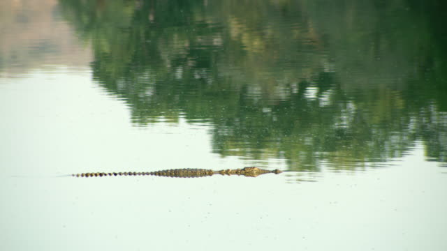 crocodile - auf dem wasser treiben stock-videos und b-roll-filmmaterial