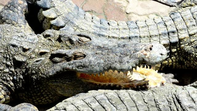 krokodilleder - kleine gruppe von tieren stock-videos und b-roll-filmmaterial