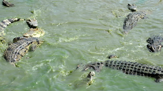 stockvideo's en b-roll-footage met crocodile - krokodil