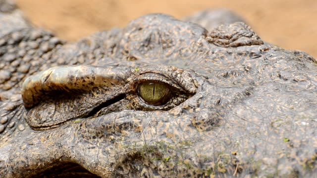 crocodile. - aquatic organism stock videos & royalty-free footage