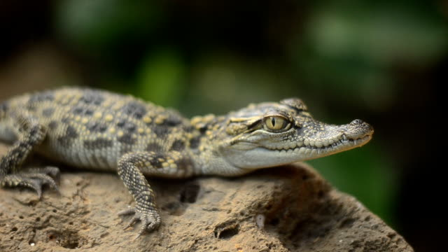crocodile - crocodile stock videos and b-roll footage
