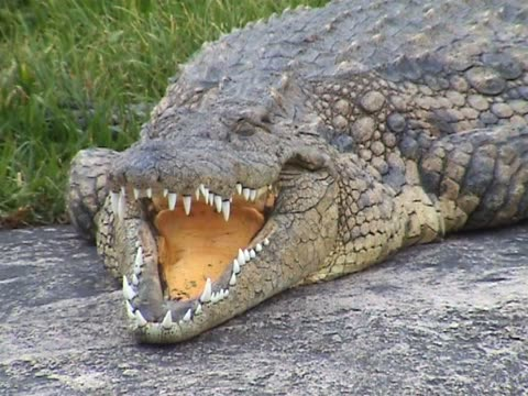 crocodile - sharp stock videos & royalty-free footage