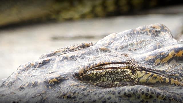 crocodile - reptile stock videos & royalty-free footage