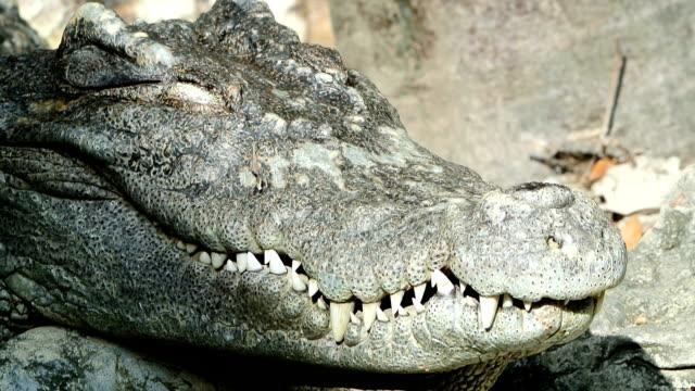crocodile - crocodile stock videos & royalty-free footage