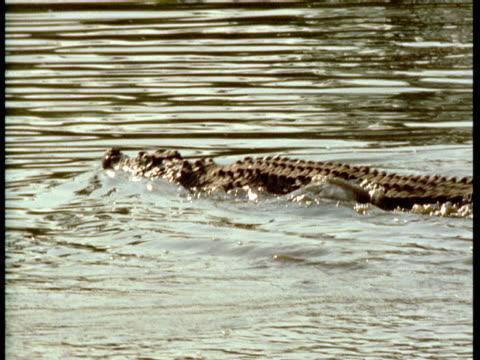 """vidéos et rushes de a crocodile violently submerges itself. - """"bbc natural history"""""""