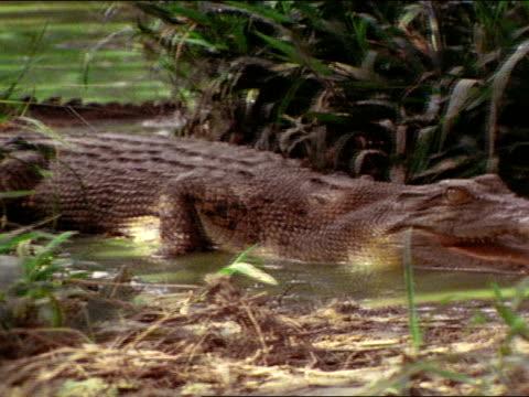 crocodile w/ mouth open in water. - naso di animale video stock e b–roll