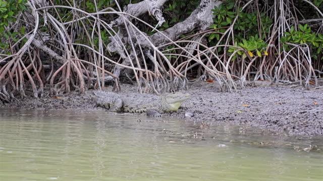 Crocodile with killed fish at Ria Lagartos Biosphere Reserve , Yucatan Peninsula Mexico