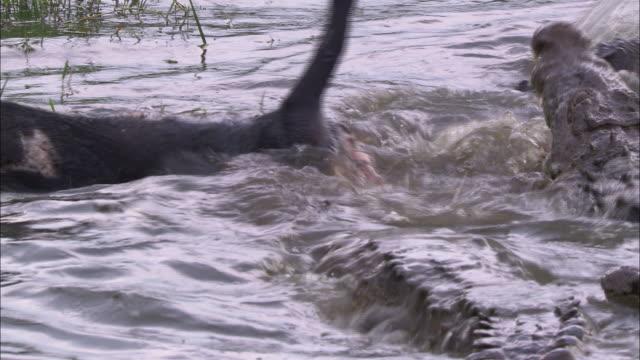 crocodiles drown their prey. - drowning stock videos & royalty-free footage