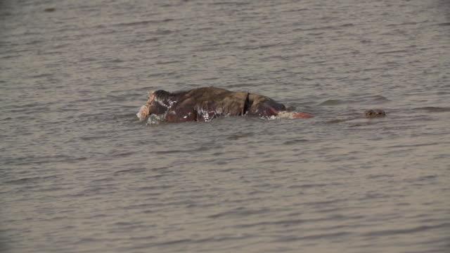MS SLO MO Crocodiles eating buffalo carcass / Chobe River, Chobe, Botswana