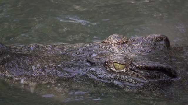 crocodiles floating in the pond - one animal stock videos & royalty-free footage